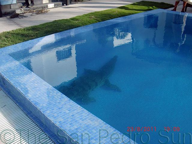 Croc takes a swim at las terrazas pool the san pedro sun - The last picture show swimming pool scene ...