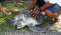 Olive-Ridley-Turtle-Tagged-in-Belize-04 (Photo 7 of 10 photo(s)).