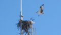 Ospery nest at Bowen's Casa Verde across from Island Supermarket (Photo 57 of 69 photo(s)).