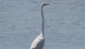 Great Egret (Photo 39 of 69 photo(s)).