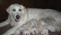 46 3 A healthy female dog and puppies from responsible breeder (Photo 2 of 4 photo(s)).
