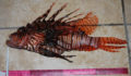 Largest Lionfish caught  (Photo 31 of 32 photo(s)).