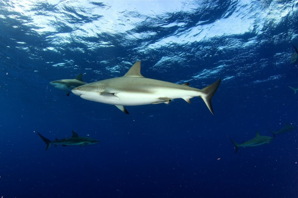 The Belize Shark Project - The San Pedro Sun