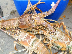 Lobster Season 2012 Opens 10