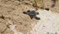 Turtle Nesting 21 (Photo 21 of 34 photo(s)).