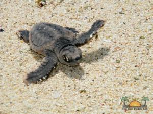 Turtle Nesting 27
