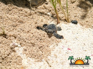 Turtle Nesting Season 2012-1