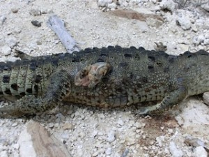 Dead-Crocodile-2