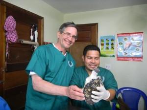 Juvenile Hawksbill Turtle Amputation (5)