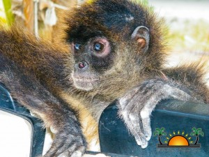 Spider Monkey Rescue-10