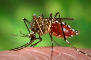 Aedes mosqutio