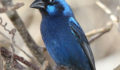 42 Male Blue Bunting (Photo 3 of 4 photo(s)).