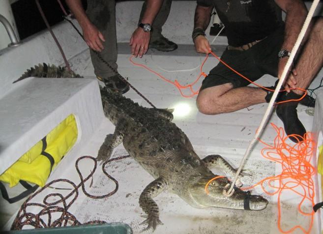 ACES Croc capture 2