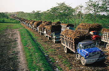 Sugar cane trucks head for sugar factory. Belize