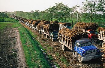 Sugar cane trucks head for sugar factory. Belize