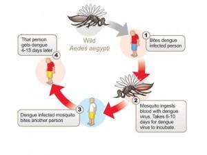 Dengue lifecycle-diagrams