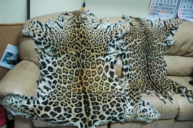 Jaguar Hide-1