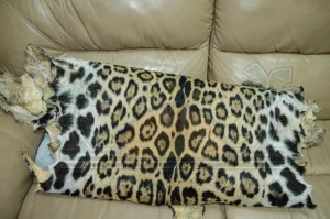 Jaguar Hide-4