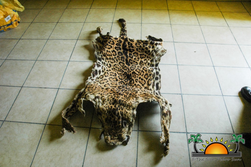 Jaguar hide recovered off San Pedro Town streets - The San Pedro Sun