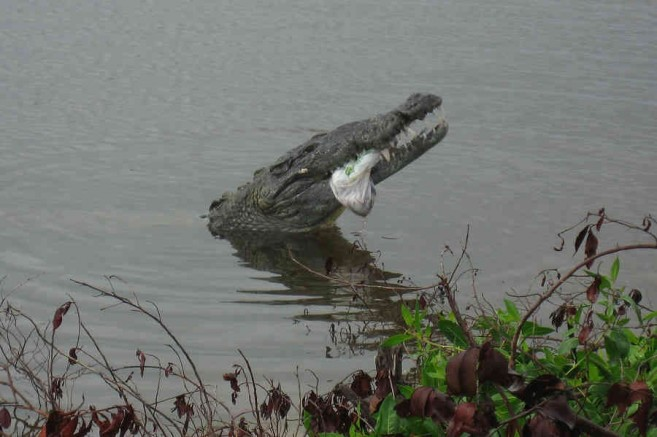 croc eating garbage