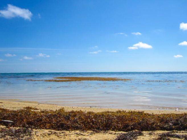 Sargasso Sargassum Seaweed Ambergris Caye-1