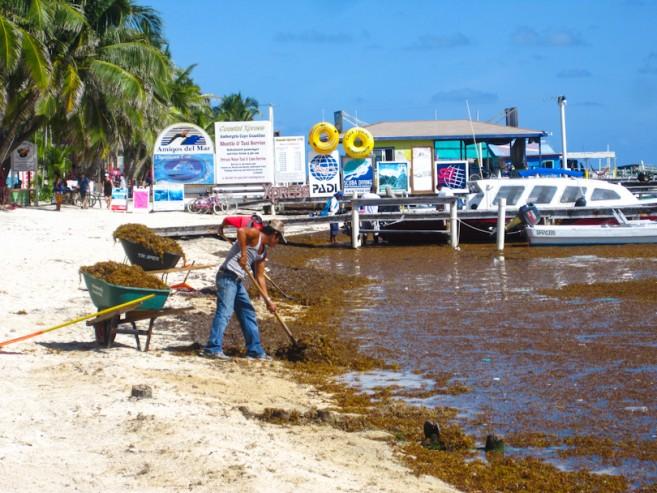 Sargasso Sargassum Seaweed Ambergris Caye-4