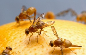 8-distasters--fruit-fly
