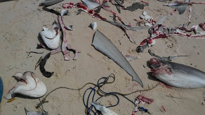 Shark fishing season comes to a close marine conservationists with such a union members of cabinet in the government might be persuaded to make amendments to the current legislation regarding shark fishing said a altavistaventures Images