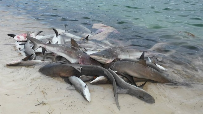 Unsustainable shark fishing is killing the belize marine for Shark fishing gear for beach