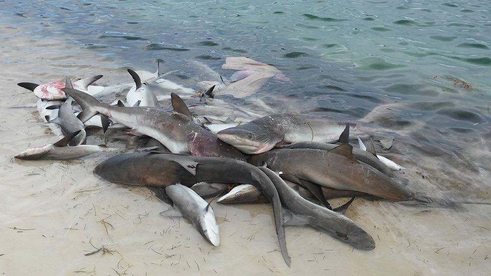 Unsustainable shark fishing is killing the belize marine for Fishing san pedro belize
