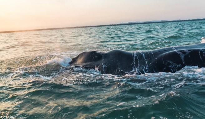 Humpback Whale found dead (1)