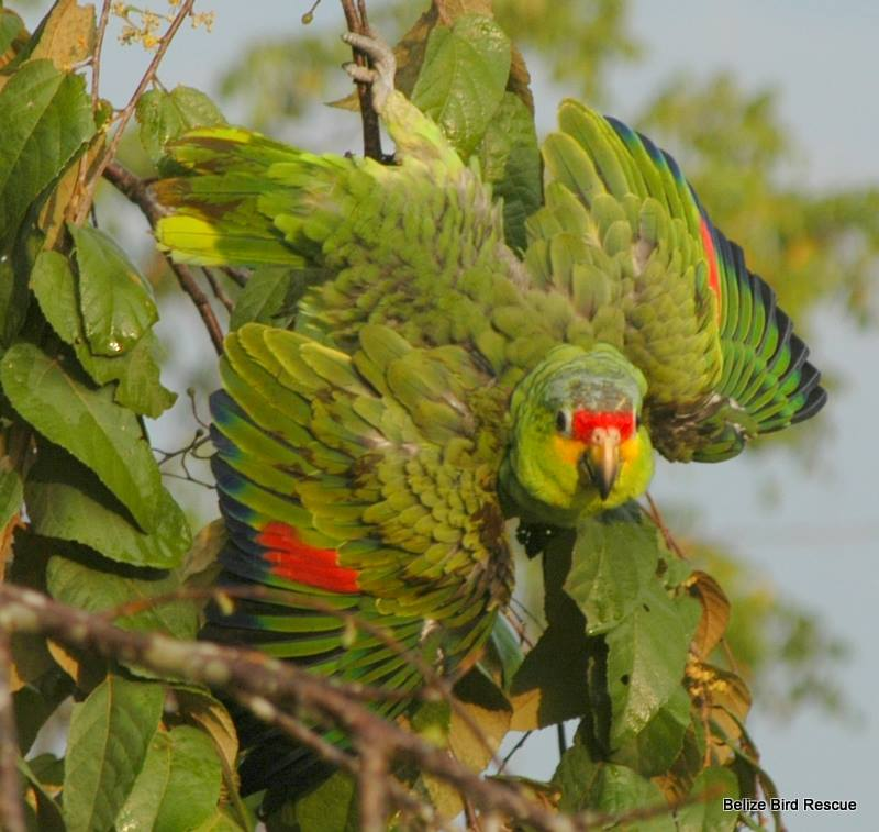25 Belize Bird Rescue book