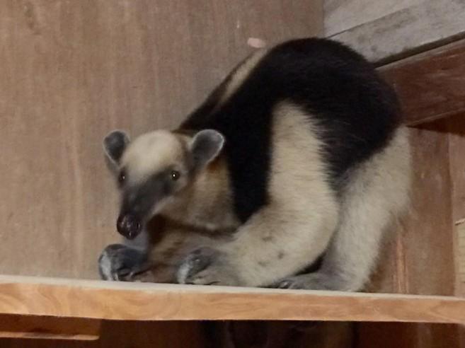 tamandua-anteater