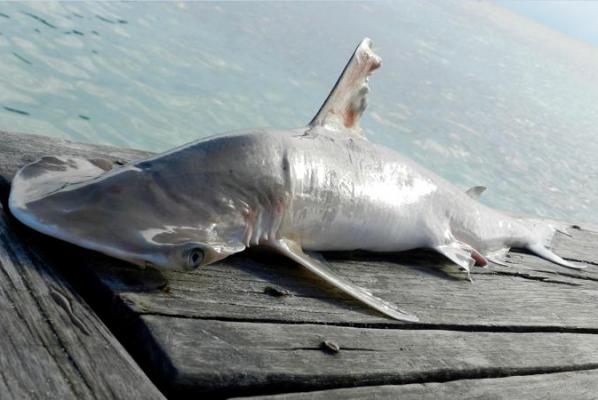 Discovery of new shark species in Belize emphasizes need for