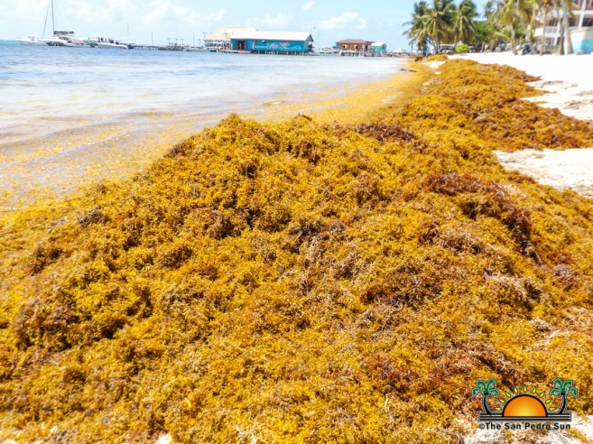 Sargassum continues to plague the Caribbean, including Belize